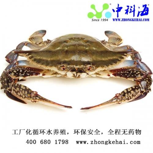 优质梭子蟹